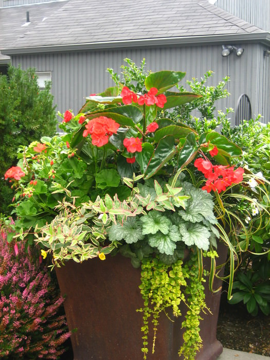 container planting with geraniums